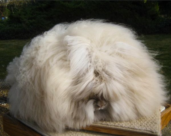 Chu said scissors are the proper tool used to cut the wool from the rabbits, and that they aren't harmed during the process.