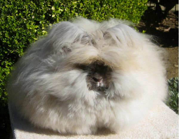 The wool will grow back, usually at the rate of one inch a month, according to Chu.