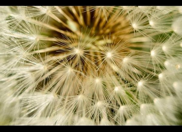"Dandelions <a href=""http://www.fei.com/resources/image-gallery/Dandelions.aspx"">FEI</a>"