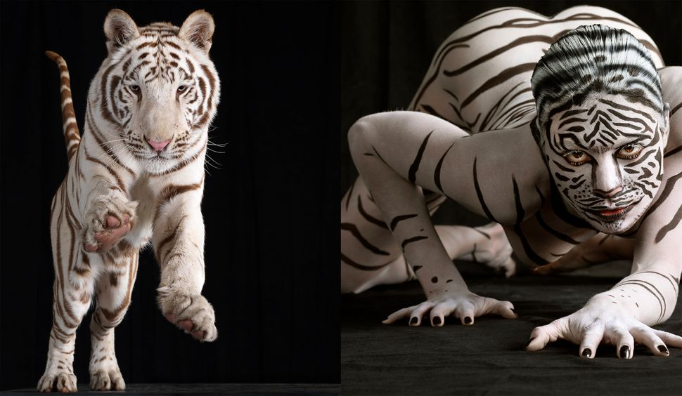 Model Jasmina takes a leap with White Tiger, Bombay and Cashmere in Los Angeles, California. (Lennette Newell / Bacroft USA /
