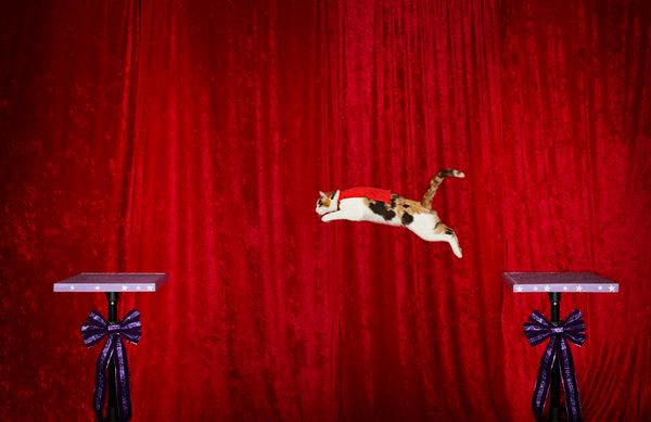 The longest jump by a cat is six feet and was achieved by Alley, owned by Samantha Martin of Austin, Texas.