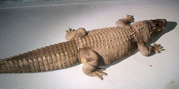 This Monday, Jan. 12, 2015 photo provided by the Los Angeles Animal Services Department shows an 8-foot alligator found in a