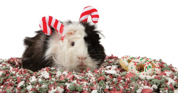 Buying holiday-appropriate presents for guinea pigs and their owners has been difficult in the past. PetSmart seems to be mak