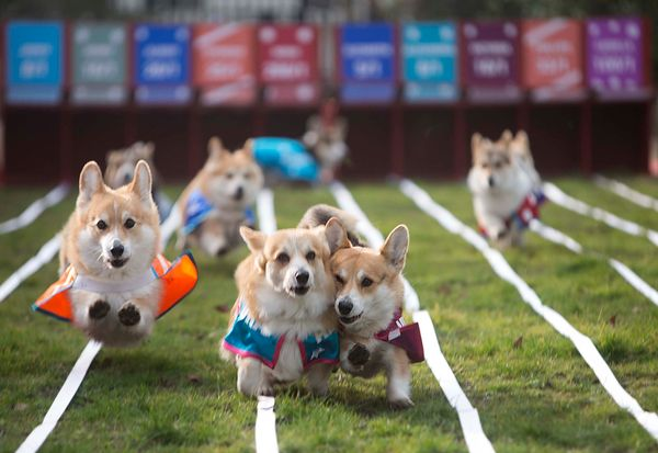 From the left) Spencer, Alexandra and Victoria, 3 of ten corgis racing against each other, battle it out for first place in t