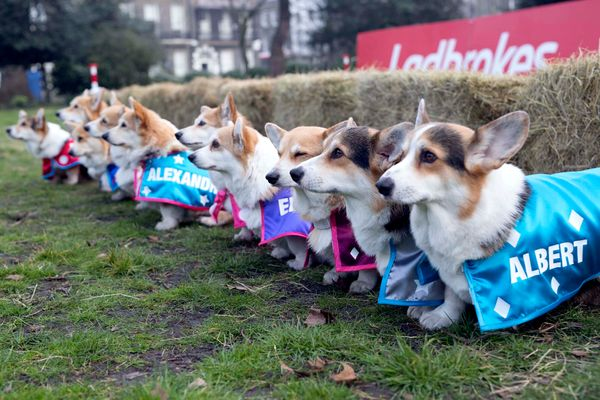 Ten Corgis get ready to race against each other in the Ladbrokes Barkingham Palace Gold Cup Royal Corgi Race in Bedford Squar