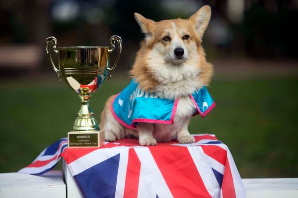 Corgi Alexandra is crowned winner of the first Ladbrokes Barkingham Palace Gold Cup in Bedford Square, London.