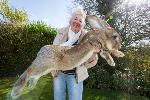 Annette Edwards with Jeff the Rabbit.  The world's biggest bunny rabbit has got competition for his heavyweight title this Ea
