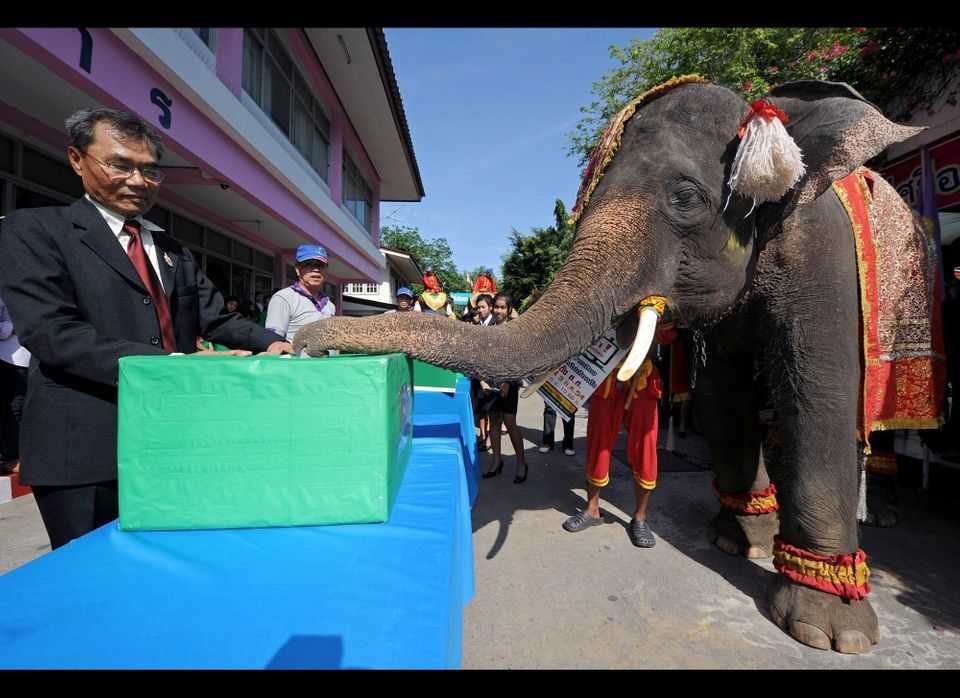 Elephant puts a ballot in ballot box during campaign to promote the general election in Ayutthaya province on June 21, 2011.