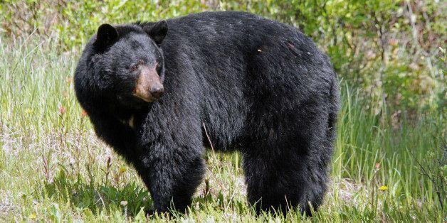 Very impressive black bear indulging in a bit of roadside dandelion dining. Banff, Alberta.