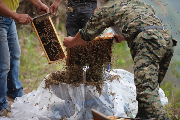This picture taken on April 9, 2014 shows She Ping (C), a 34 year-old  local beekeeper, preparing to wear bees on a small hil