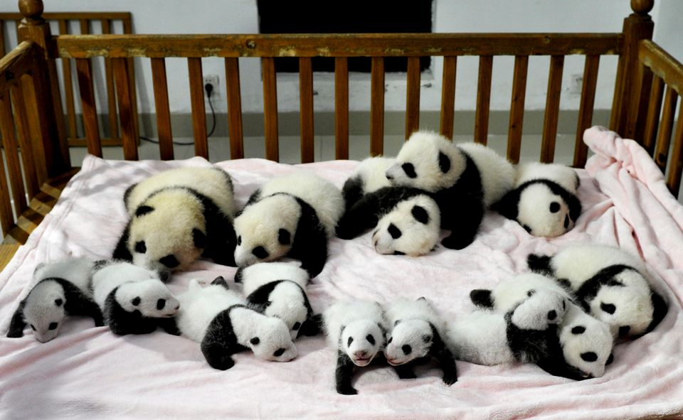 In this Monday, Sept. 23, 2013 photo, fourteen panda cubs are arranged in a crib for photos as they are shown to the public a