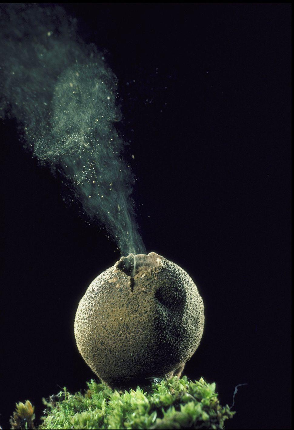 Lycoperdon pyriform (Puffball)