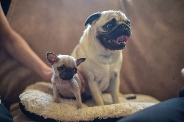 Pip, a 4-month-old pug puppy, is pictured with her mom, Ruby, 2, at her home.