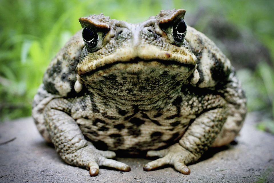 "Cane toads were <a href=""http://animals.nationalgeographic.com/animals/amphibians/cane-toad/#"">introduced into the Australian"