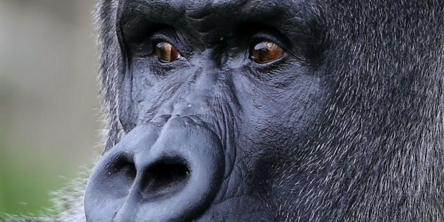 Ambam, a Western Lowland Gorilla, explores his enclosure at Port Lympne Wild Animal Park near Ashford, Kent, as keepers prepa