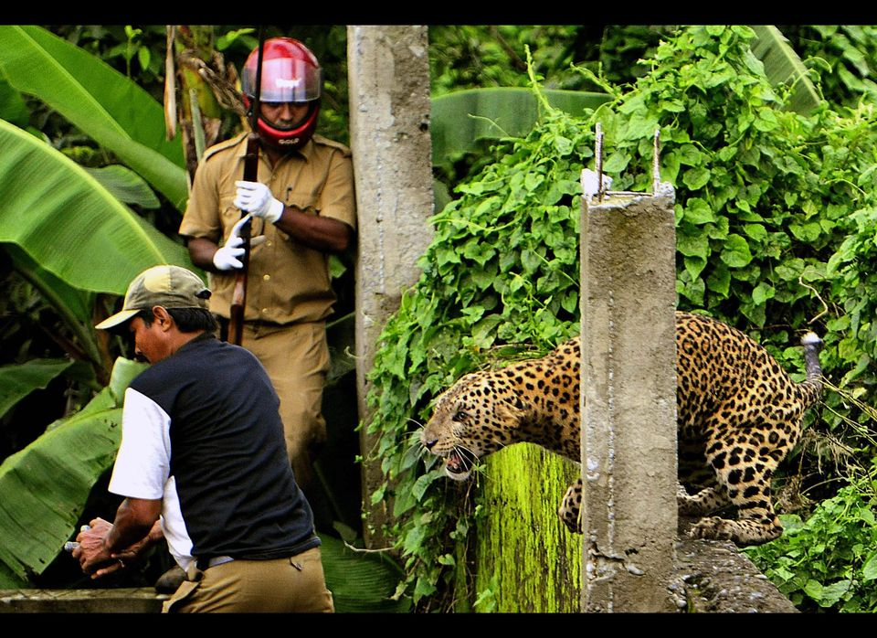 A leopard readies to attack a forest guard.