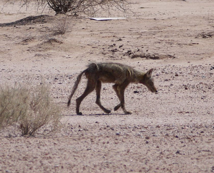 A mangy coyote seen in the Arizona desert outside of Phoenix. Credit: Alejandro Rojas