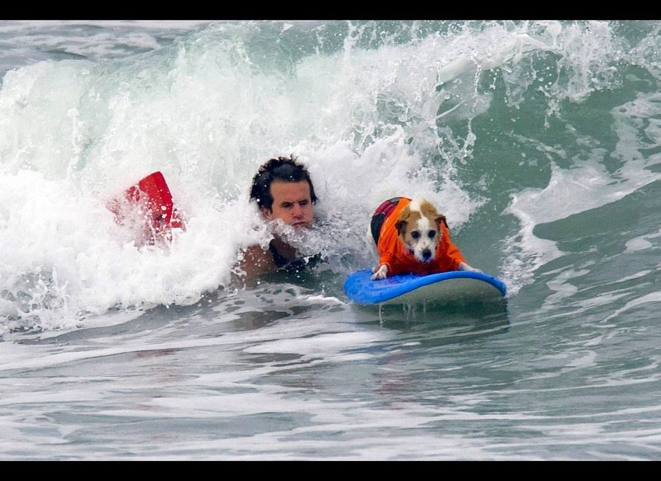 Buddy the Surfing Dog, 14, is a Jack Russell Terrier who has been surfing for 10 years.