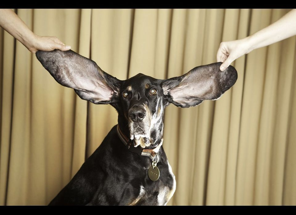 Harbor - Dog With The Longest Ears. Guinness World Records 2010