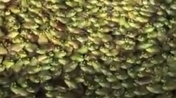 중국에서 촬영한 수천 마리의 개구리가 모인