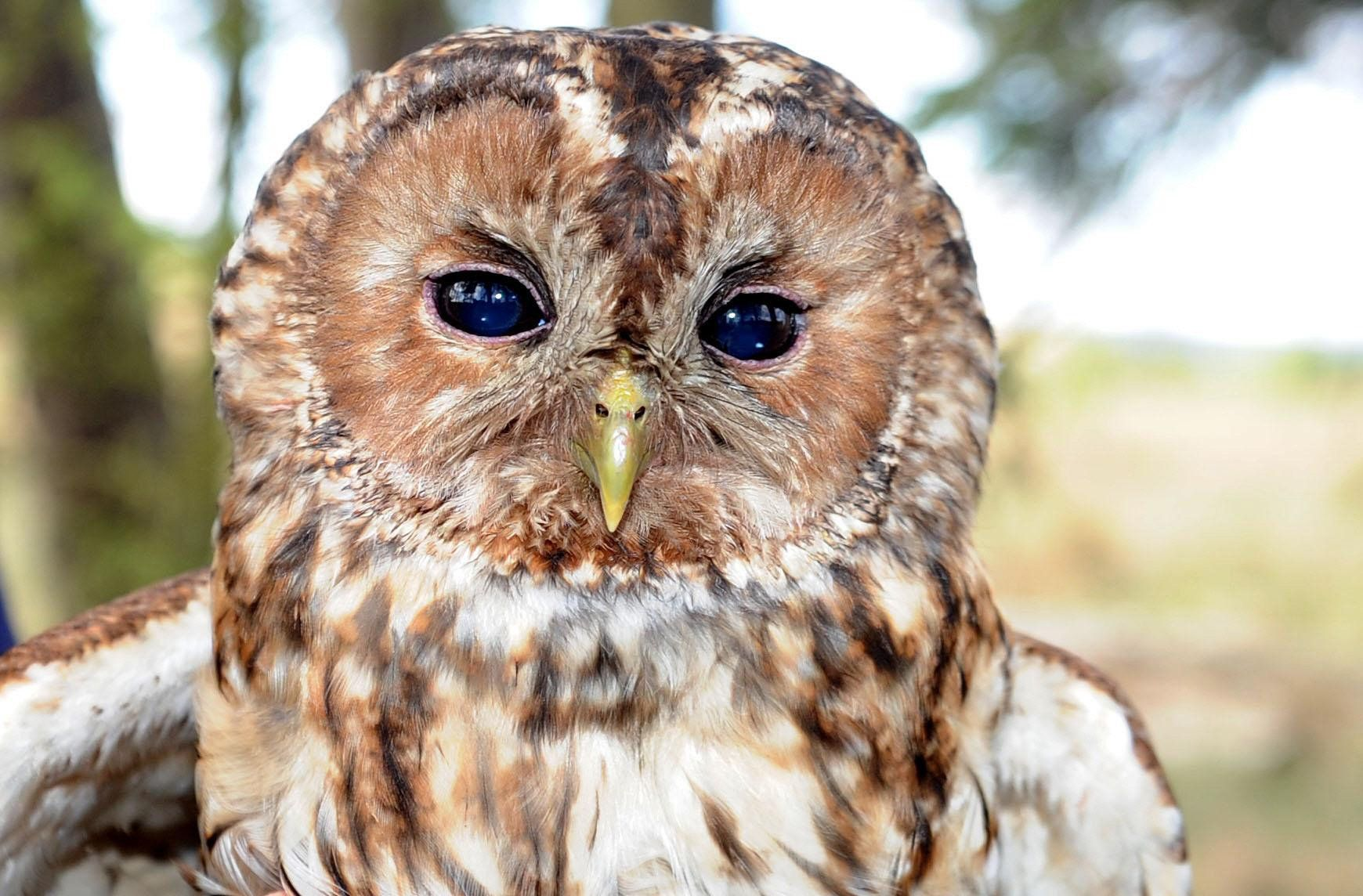 Public Urged To Listen Out For Tawny Owl's 'Twit Twoo' This Autumn Amid Fears of Its