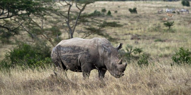 In this photo taken Thursday, Sept. 20, 2012, a white rhino grazes in Nairobi National Park, Kenya. Seeing a dire situation g
