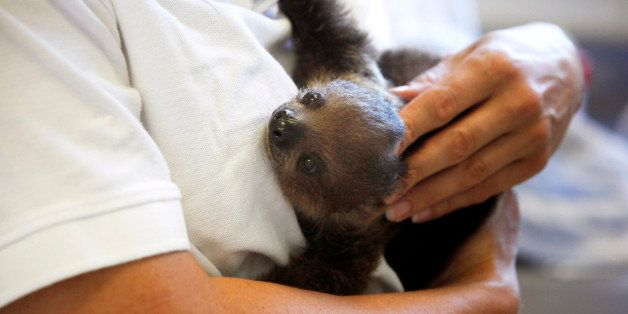 A veterinarian holds one of a two-month-old babies of a toe sloth named 'Bimba' in the LoroParque Zoo on the Spanish Canary i
