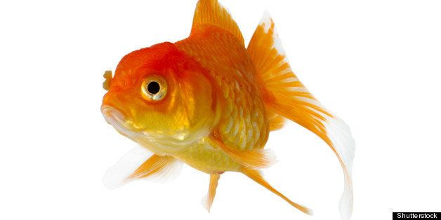 gold fish. isolation on the...