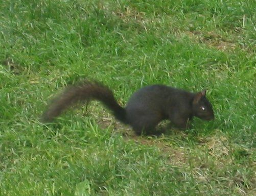 Black squirrels are not common on the East Coast, but for whatever reason, there are a lot of them in Princeton, N.J.. There'