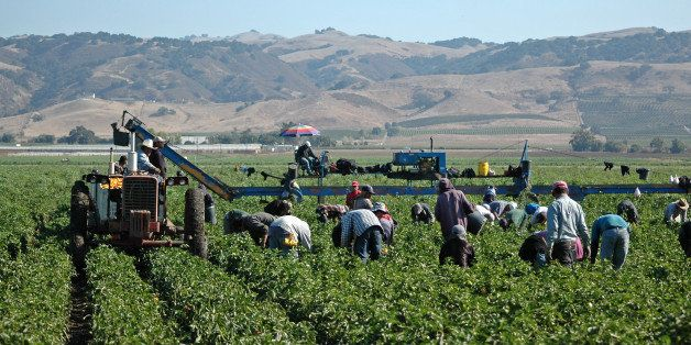 Farm workers harvesting yellow bell peppers near Gilroy, California. Crews like this may include illegal immigrant workers as