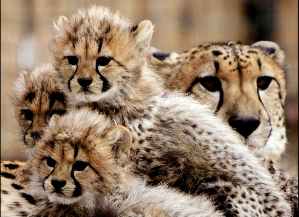 Three cheetah cubs, born in November 2004, lean against their mother during a preview showing at the National Zoo in February