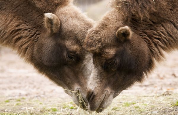 Many families leave a box of grass (or hay) and water for The Three King's camels to eat. Similar to the tradition of leaving