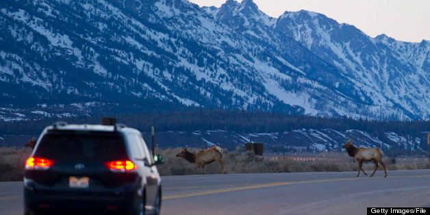 A car waits for Elk to cross the road.