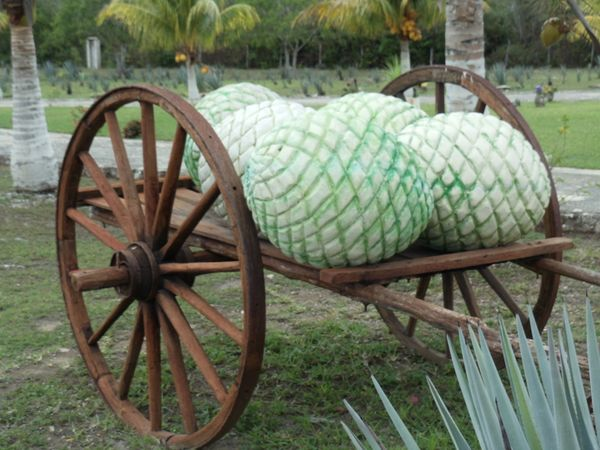 Not exactly, but sort of. Tequila is made from the blue agave, which, when its leaves are sheared, leave a massive pit referr