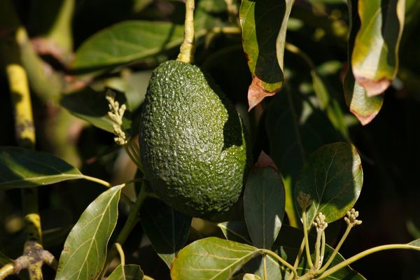 "Passed into English by way of the Spanish word ""aguacate,"" the word originates from the Nahuatl term ""āhuacatl,"" <a href=""htt"