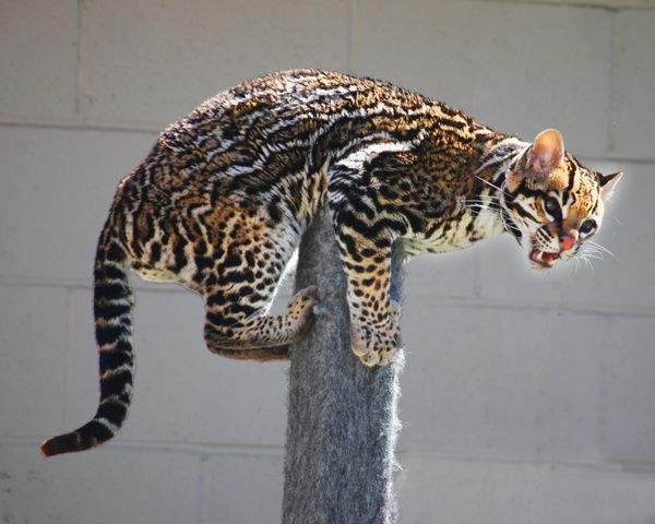 "The French shortened the Nahuatl name or this spotted cat once commonly seen in the Americas, <a href=""http://dictionary.refe"