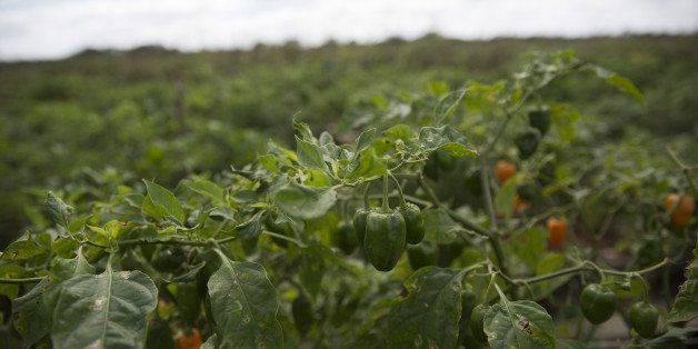 Habanero chiles hang from a plant in a field during harvest in Merida, Mexico, on Monday, Feb. 1, 2016. Habanero chile produc