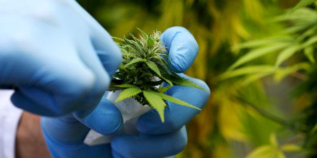 A production assistant collects a Cannabis plant in a state-owned agricultural farm in Rovigo, about 60 km  (40 miles) from V