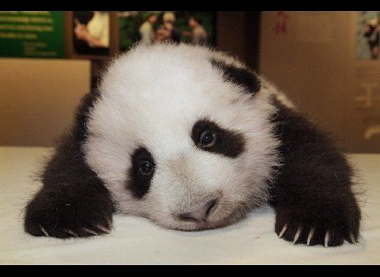"<a href=""http://www.sandiegozoo.org/pandacam/"" target=""_hplink"">Click here for the San Diego Zoo's panda cam</a>.  Image: <a"