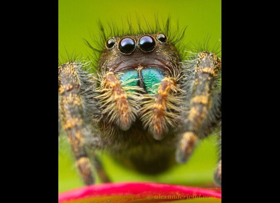 "<em>Phidippus audax</em>, or the common jumping spider. Urbana, Illinois, USA. (<a href=""http://www.alexanderwild.com/"" targe"