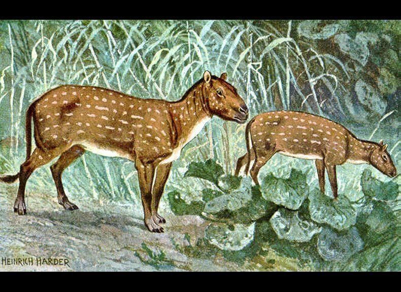 This genus of small early horse roamed the early woodlands of Asia, Europe and North America some 55 million to 45 million ye