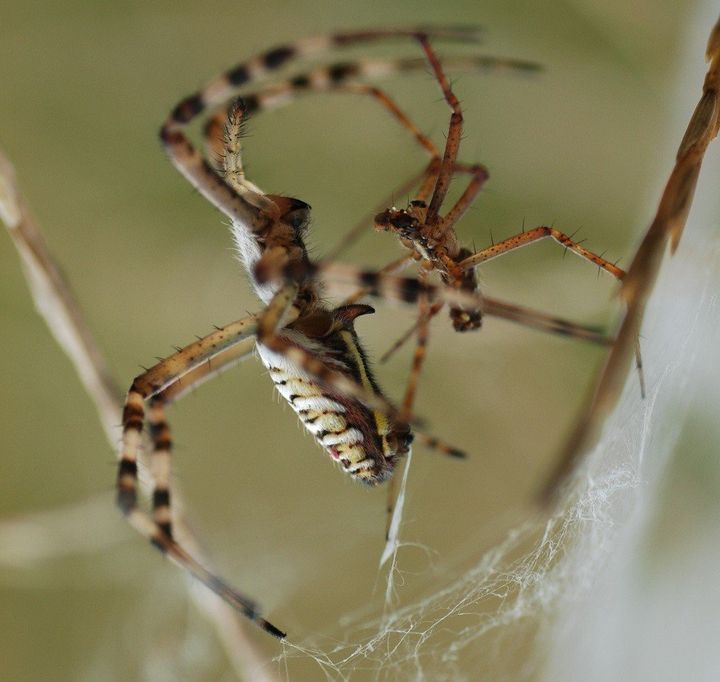 sexual cannibalism studies of praying mantises and spiders show both