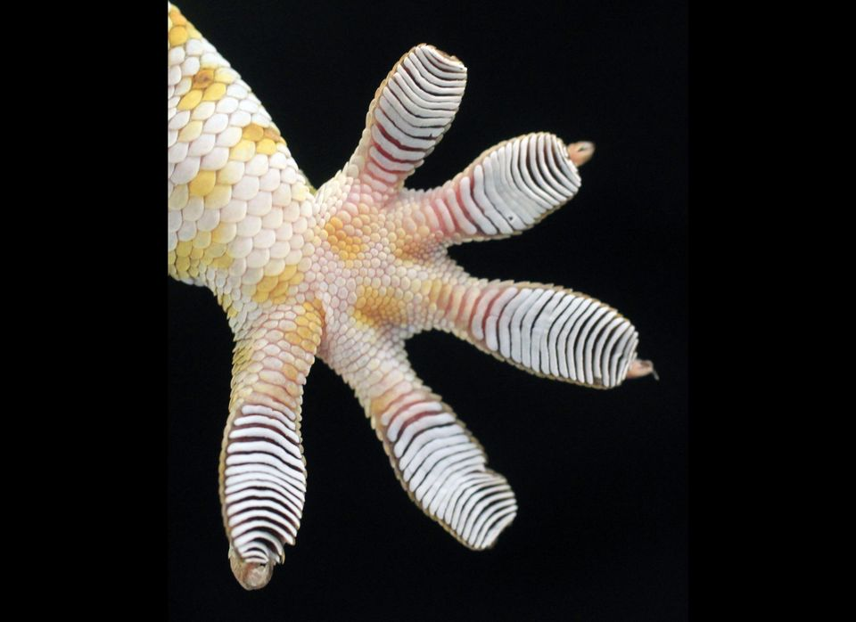 Detail photo of the foot of a gecko used for research at the Univeristy of Akron August 7, 2012.  Geckos are well-known for t