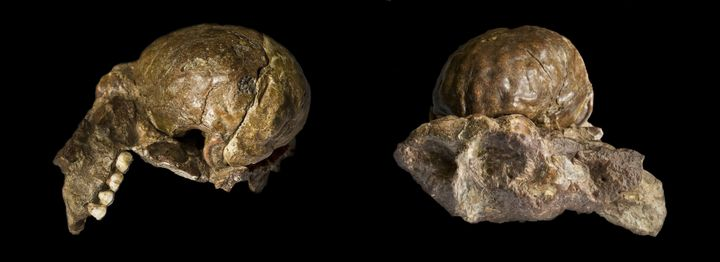 Description 1 en:Australopithecus africanus | Australopithecus  ... Source | Author fr:José Braga | José Braga ;Didier Descou