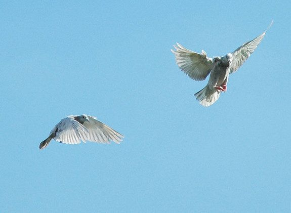 Homing Pigeon Navigation: Birds Use Sound Waves To Find Their Way