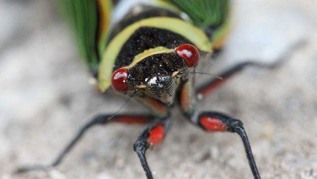 cicada red eye