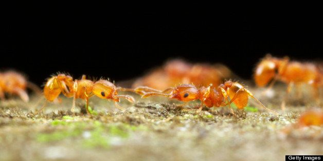 Two Little Fire Ants (Wasmannia auropunctata) meet on a foraging trail and briefly assess each other. Ants from different col