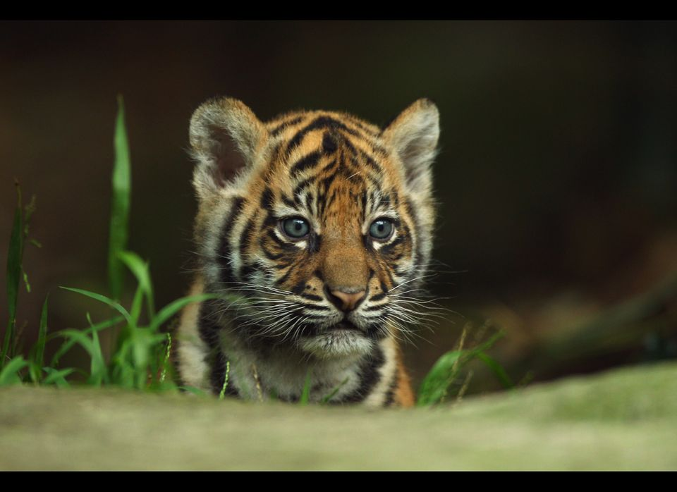 <em>From Getty:</em> SYDNEY, AUSTRALIA - OCTOBER 25:  A Sumantran tiger cub seen on display at Taronga Zoo on October 25, 201