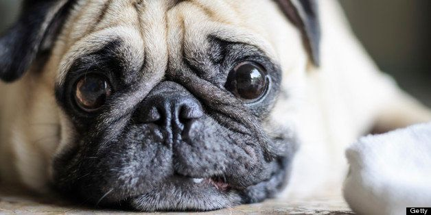 Cute pug dog with funny face .