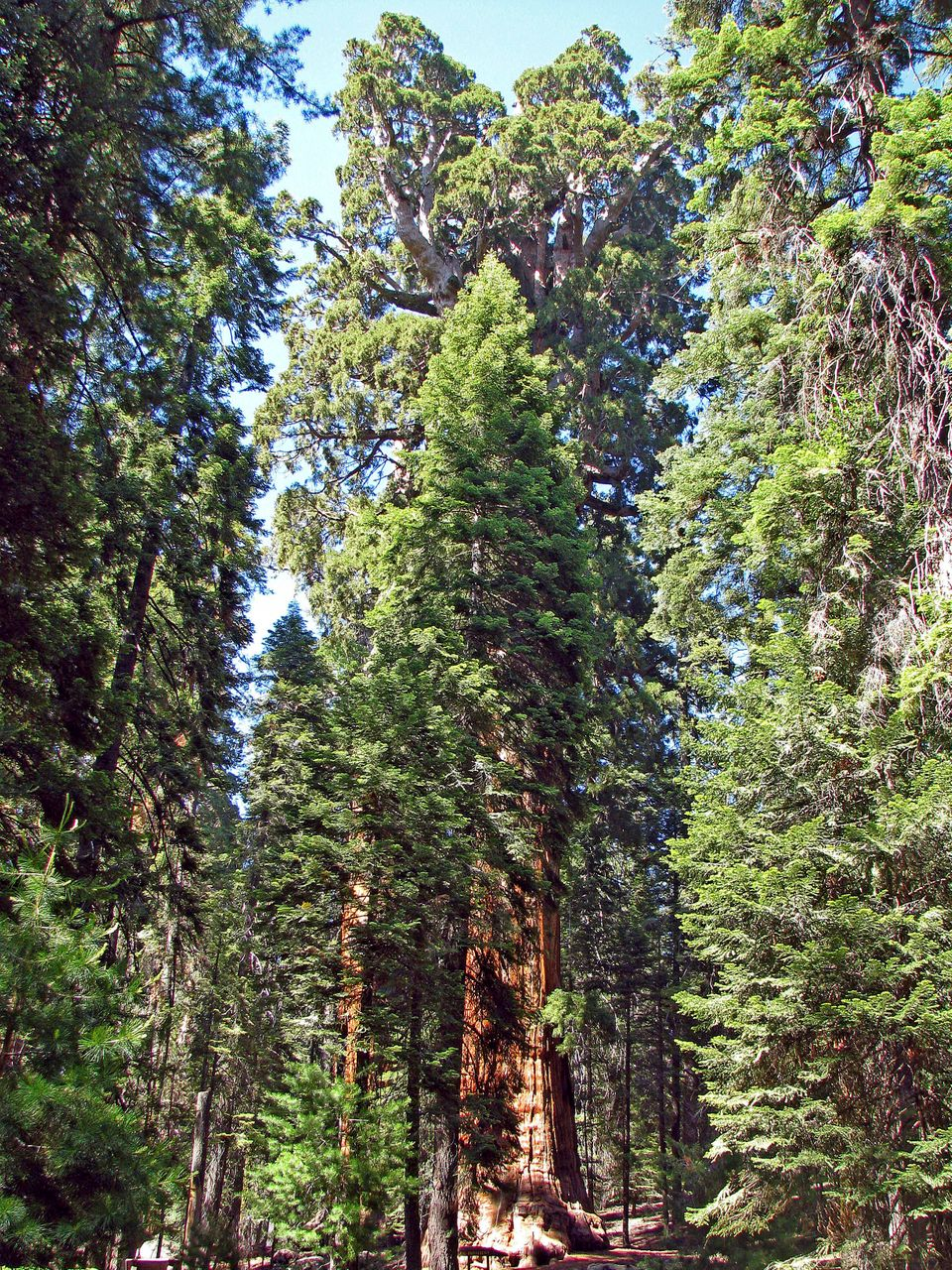In this 2009 photo released by Steve Sillett, The President, a Giant Sequoia Tree, is shown in Sequoia National Park, Calif.